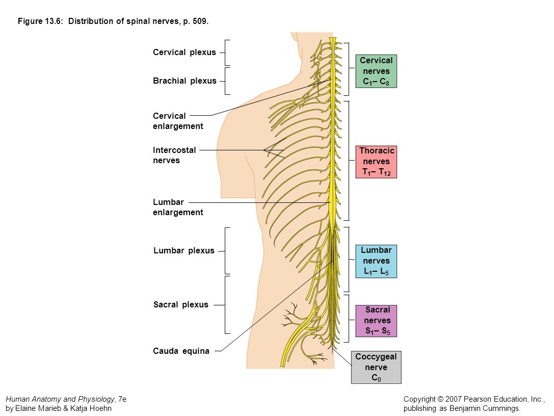Anatomy Physiology Archive - MRS. BRENNER\'S BIOLOGY