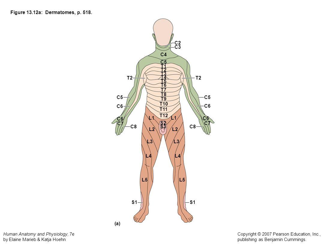 Figure 13.12a: Dermatomes, p. 518. C2. C3. C4. C5. T1. T2. T3. T2. T4. T2. T5. T6. T7.