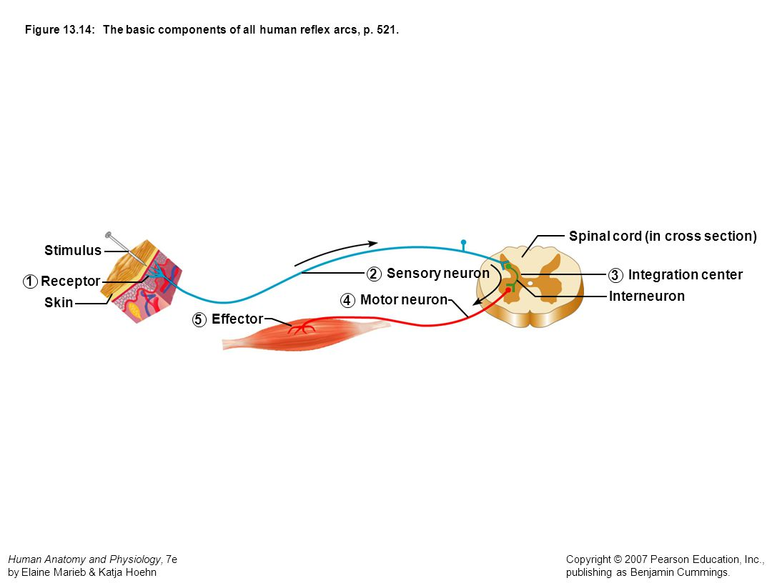 Figure 13.14: The basic components of all human reflex arcs, p. 521.