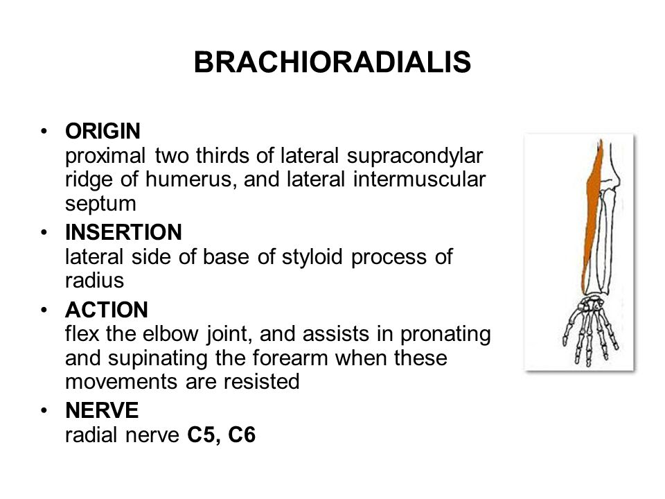 BRACHIORADIALIS ORIGIN proximal two thirds of lateral supracondylar ridge of humerus, and lateral intermuscular septum.
