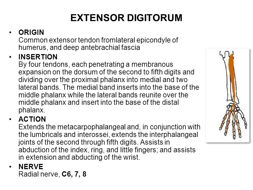 EXTENSOR DIGITORUM ORIGIN Common extensor tendon fromlateral epicondyle of humerus, and deep antebrachial fascia.