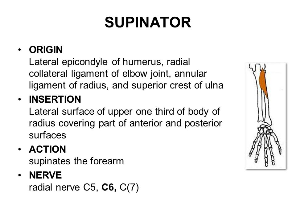 SUPINATOR ORIGIN Lateral epicondyle of humerus, radial collateral ligament of elbow joint, annular ligament of radius, and superior crest of ulna.