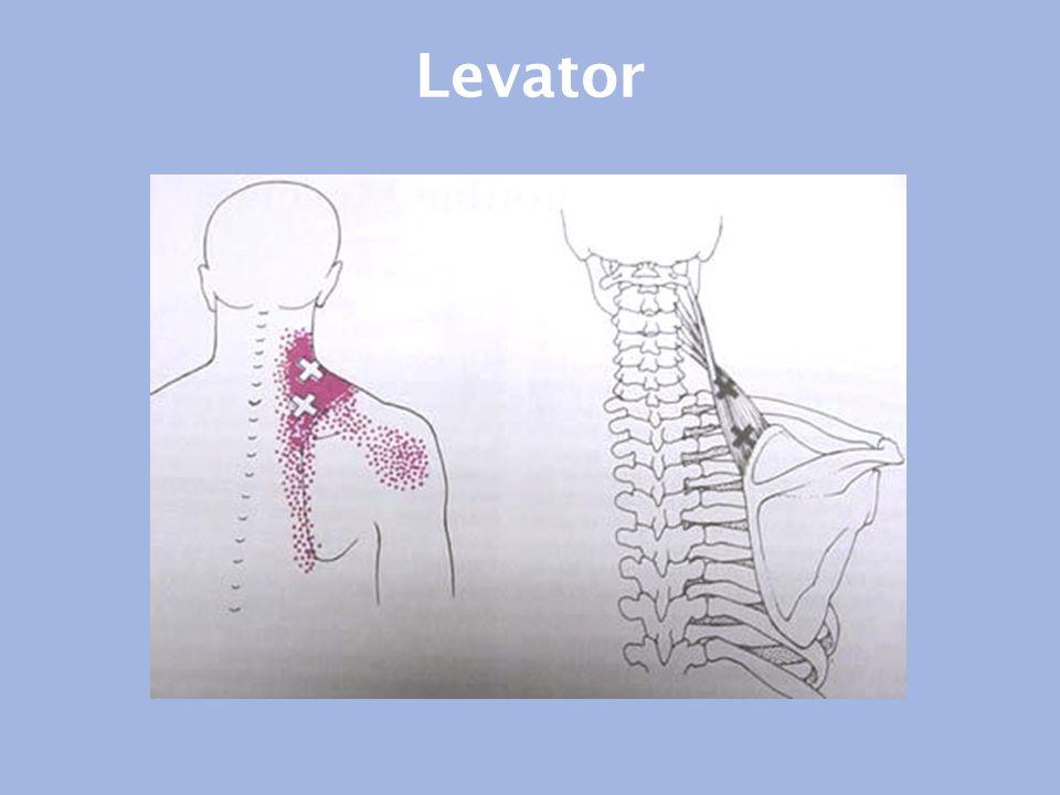 Levator