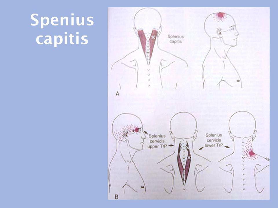 Spenius capitis
