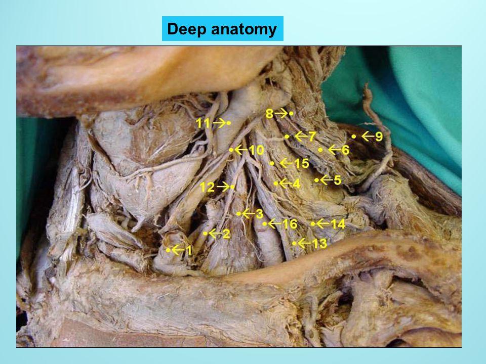 Deep anatomy