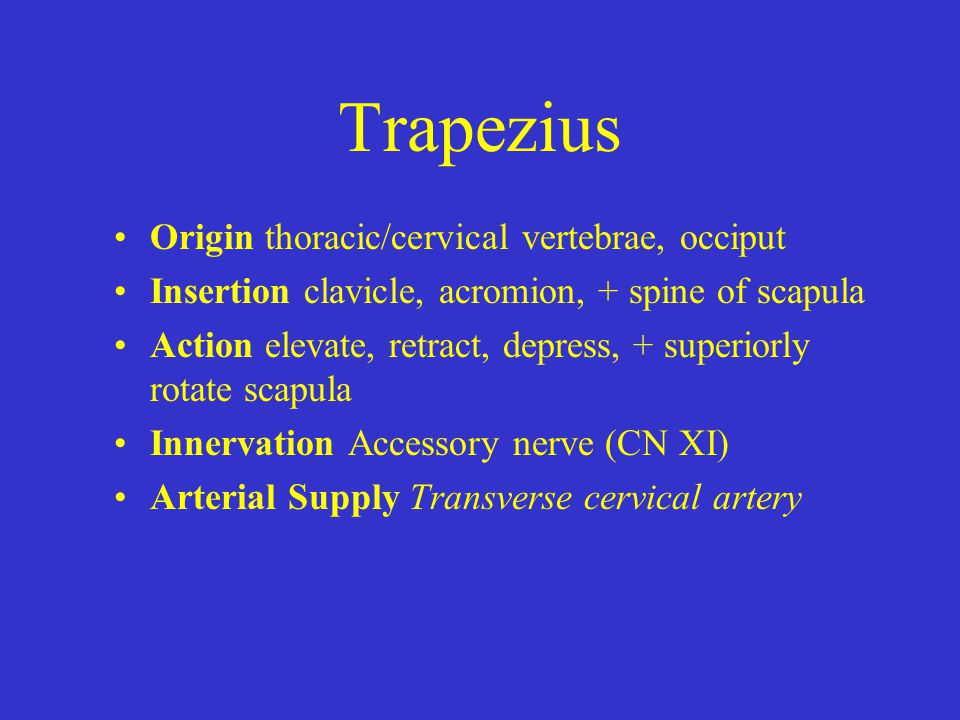 Trapezius Origin thoracic/cervical vertebrae, occiput