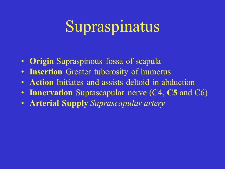 Supraspinatus Origin Supraspinous fossa of scapula