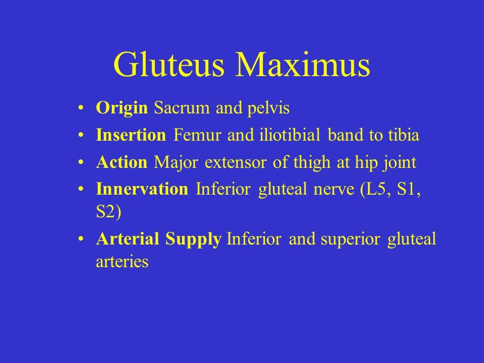 Gluteus Maximus Origin Sacrum and pelvis