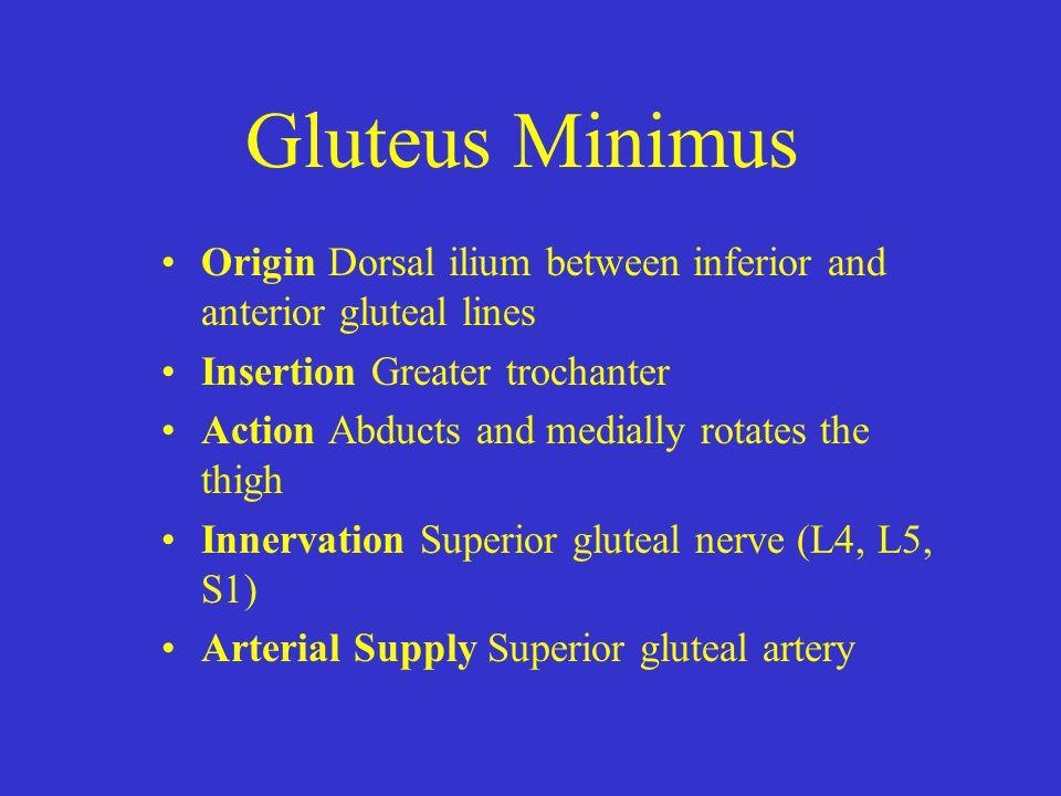 Gluteus Minimus Origin Dorsal ilium between inferior and anterior gluteal lines. Insertion Greater trochanter.
