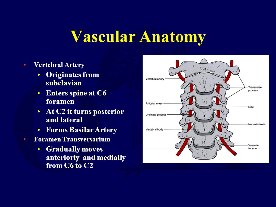 Vascular Anatomy Originates from subclavian Enters spine at C6 foramen