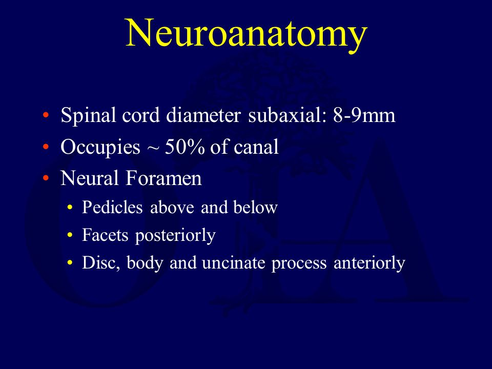 Neuroanatomy Spinal cord diameter subaxial: 8-9mm