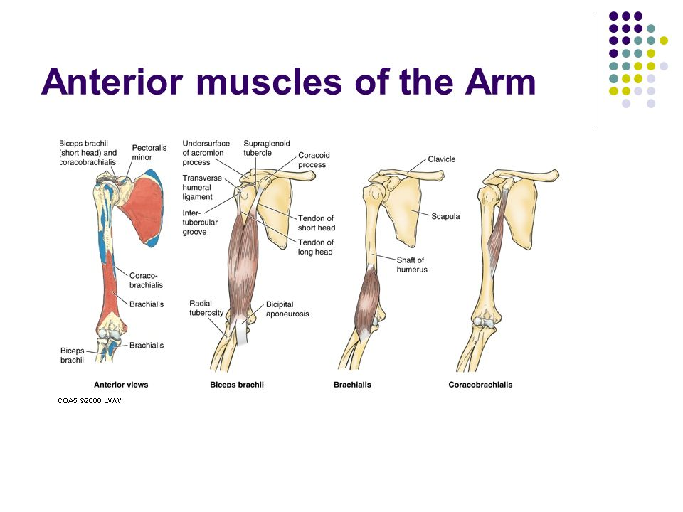 Anterior muscles of the Arm