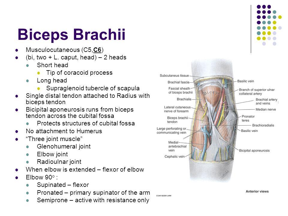 Biceps Brachii Musculocutaneous (C5,C6)