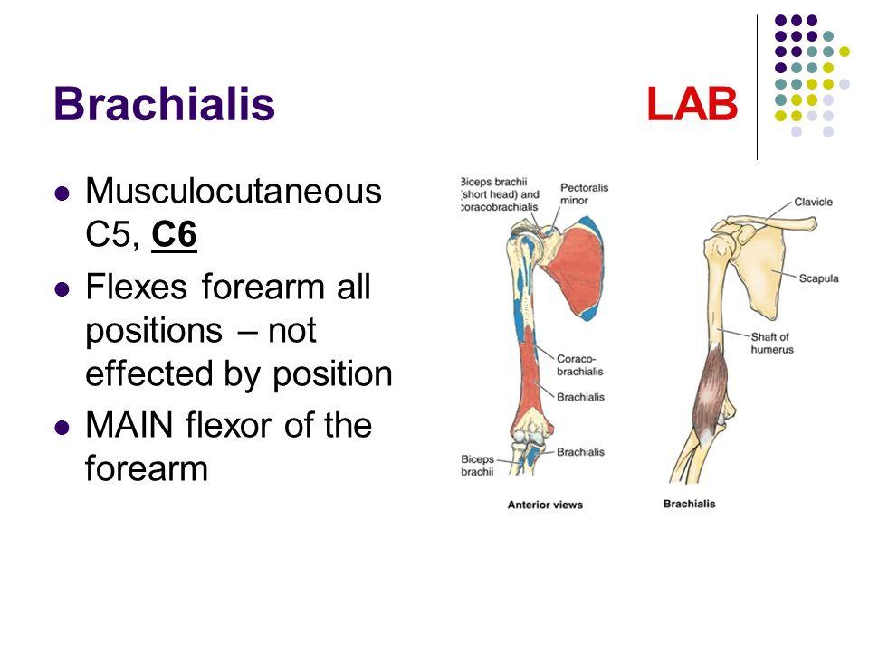 Brachialis LAB Musculocutaneous C5, C6