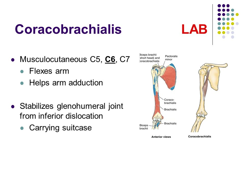 Coracobrachialis LAB Musculocutaneous C5, C6, C7 Flexes arm