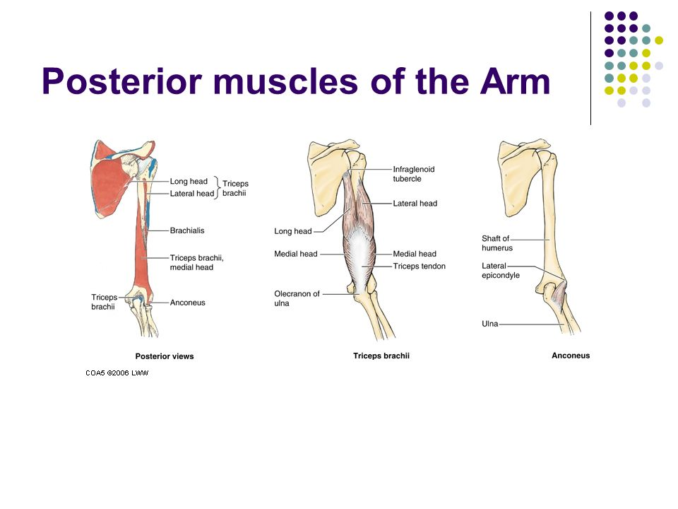 Posterior muscles of the Arm