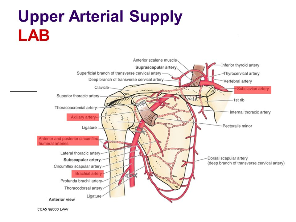 Upper Arterial Supply LAB