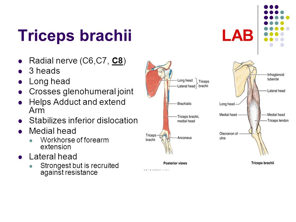 Triceps brachii LAB Radial nerve (C6,C7, C8) 3 heads Long head