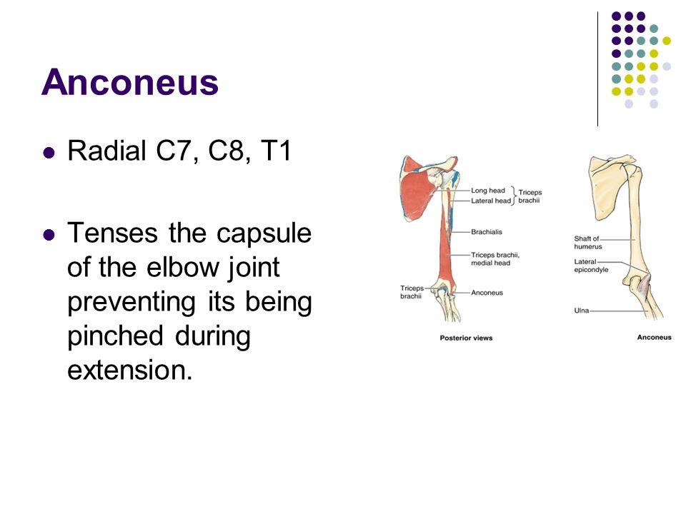 Anconeus Radial C7, C8, T1.
