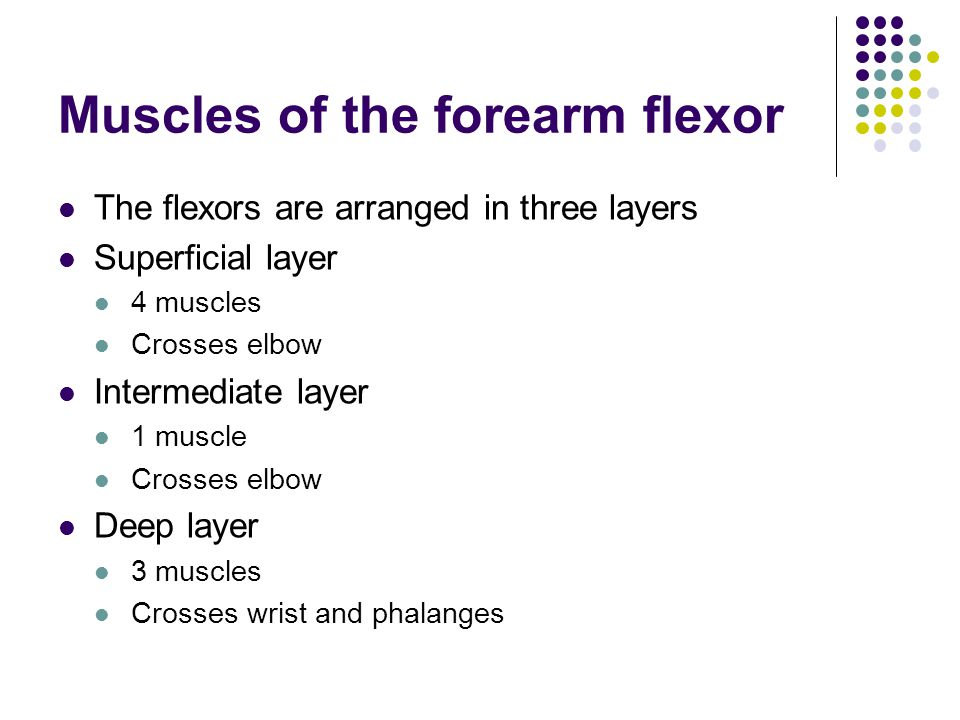 Muscles of the forearm flexor