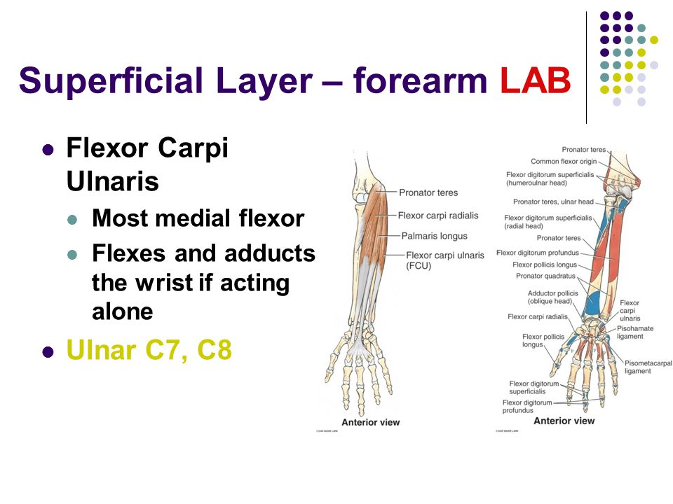 Superficial Layer – forearm LAB