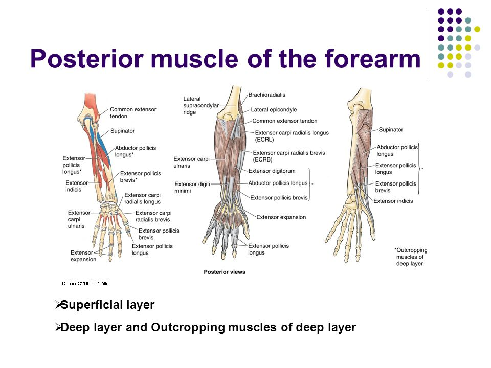 Posterior muscle of the forearm