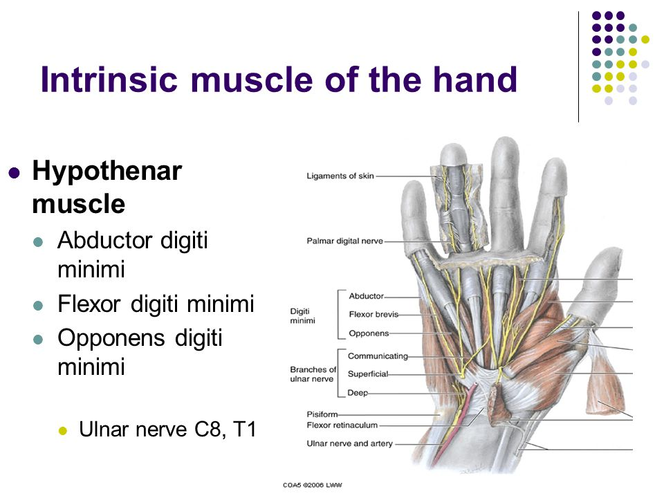 Intrinsic muscle of the hand