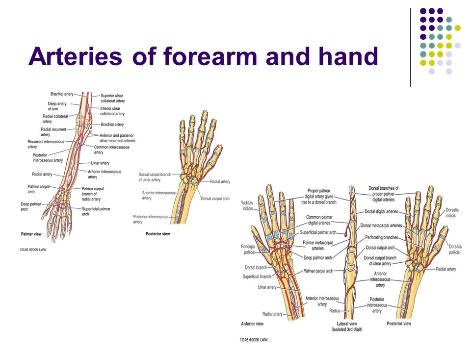 Arteries of forearm and hand