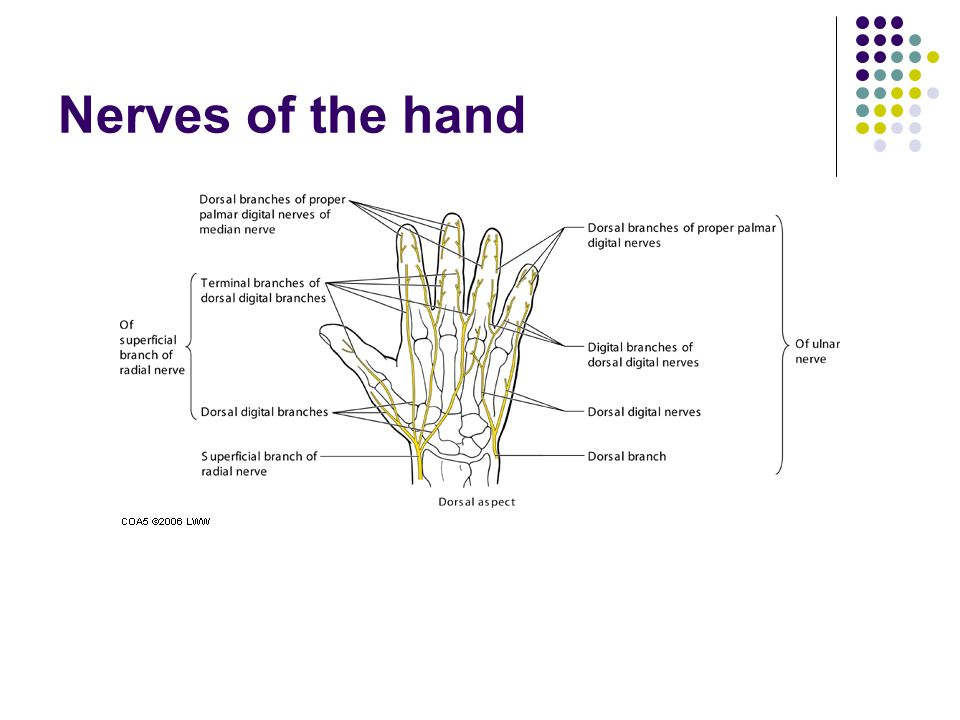 Nerves of the hand