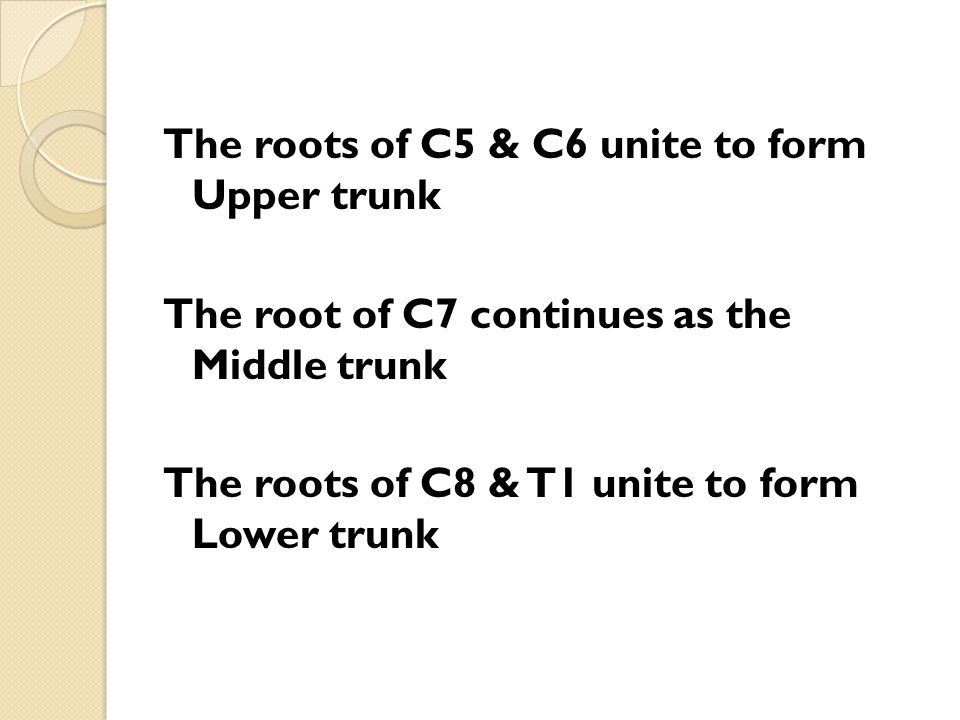 The roots of C5 & C6 unite to form Upper trunk The root of C7 continues as the Middle trunk The roots of C8 & T1 unite to form Lower trunk