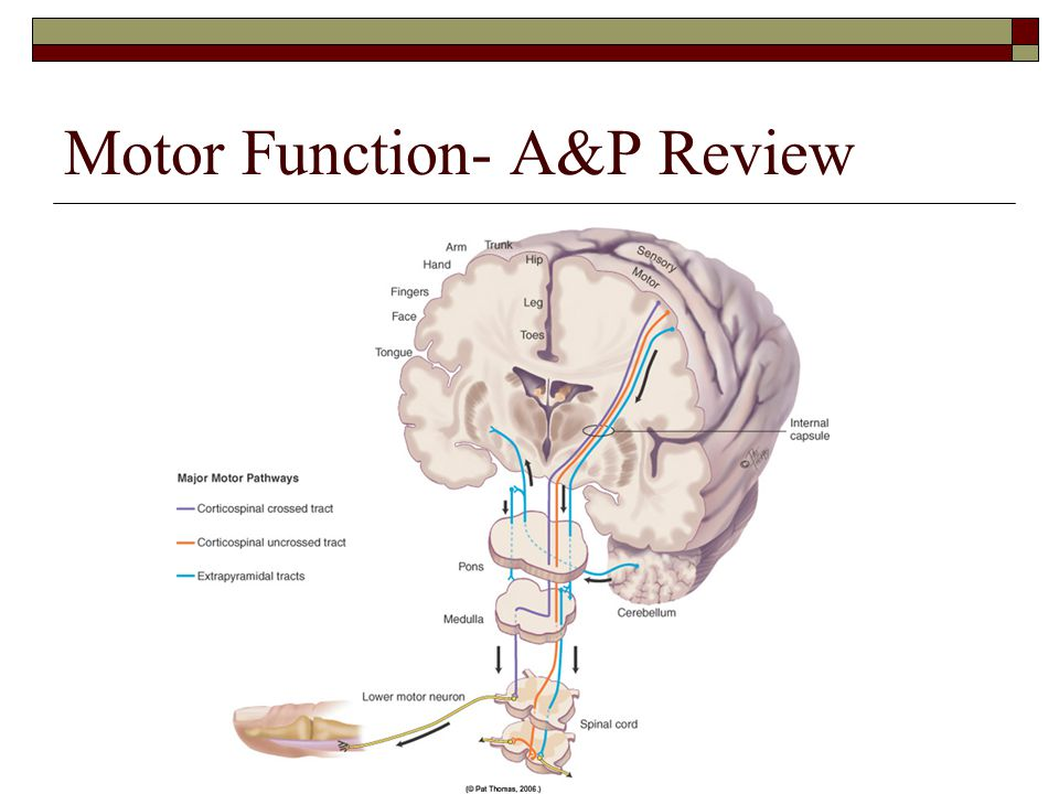 Motor Function- A&P Review
