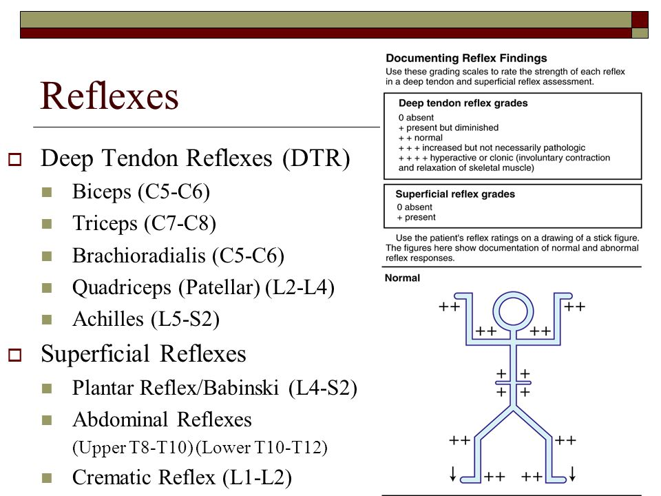 Reflexes Deep Tendon Reflexes (DTR) Superficial Reflexes