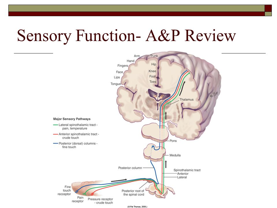 Sensory Function- A&P Review