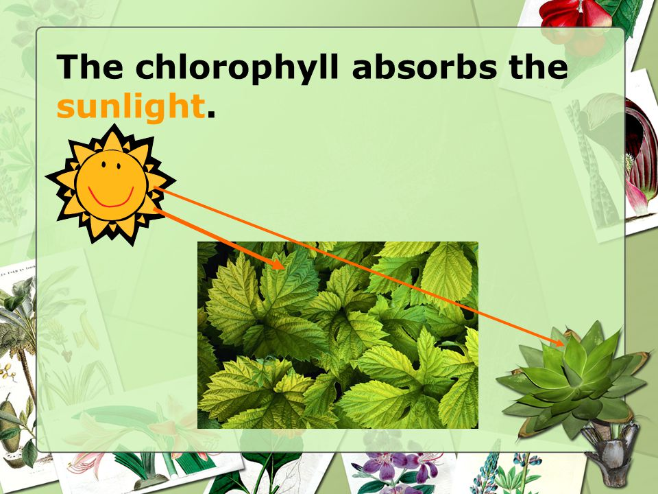 The chlorophyll absorbs the sunlight.