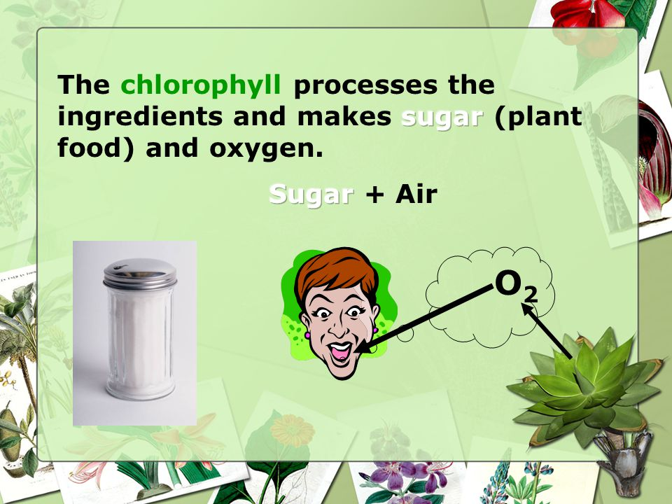 The chlorophyll processes the ingredients and makes sugar (plant food) and oxygen.
