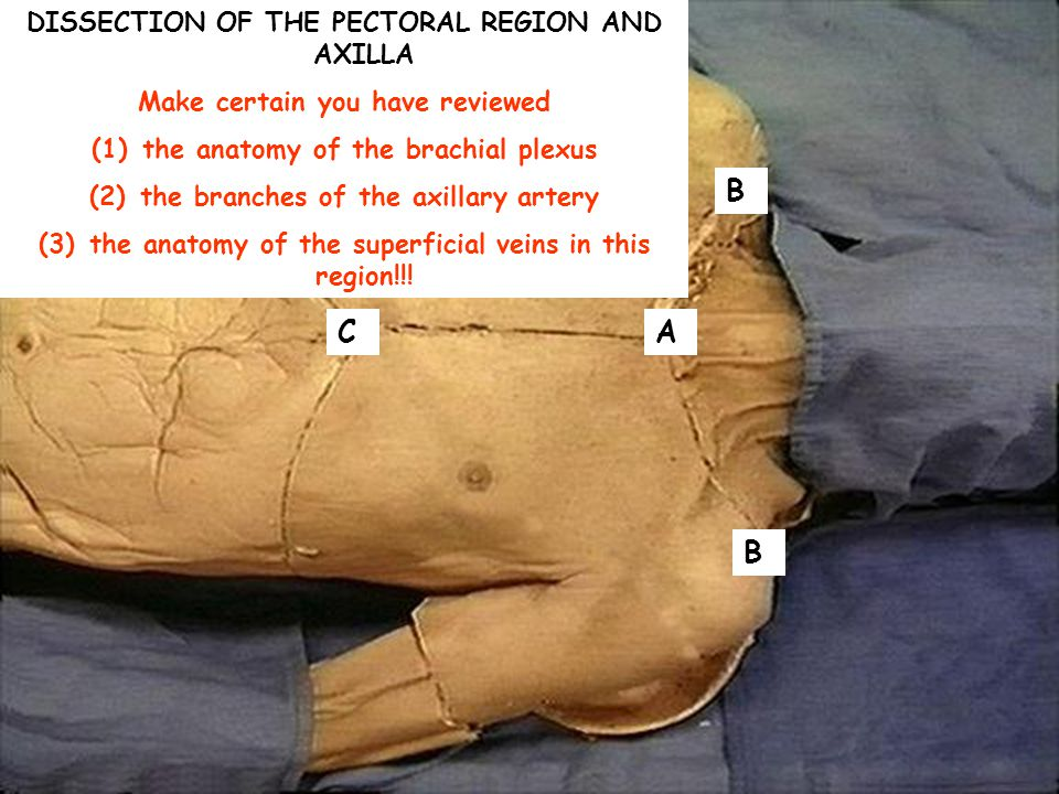 B C A B DISSECTION OF THE PECTORAL REGION AND AXILLA