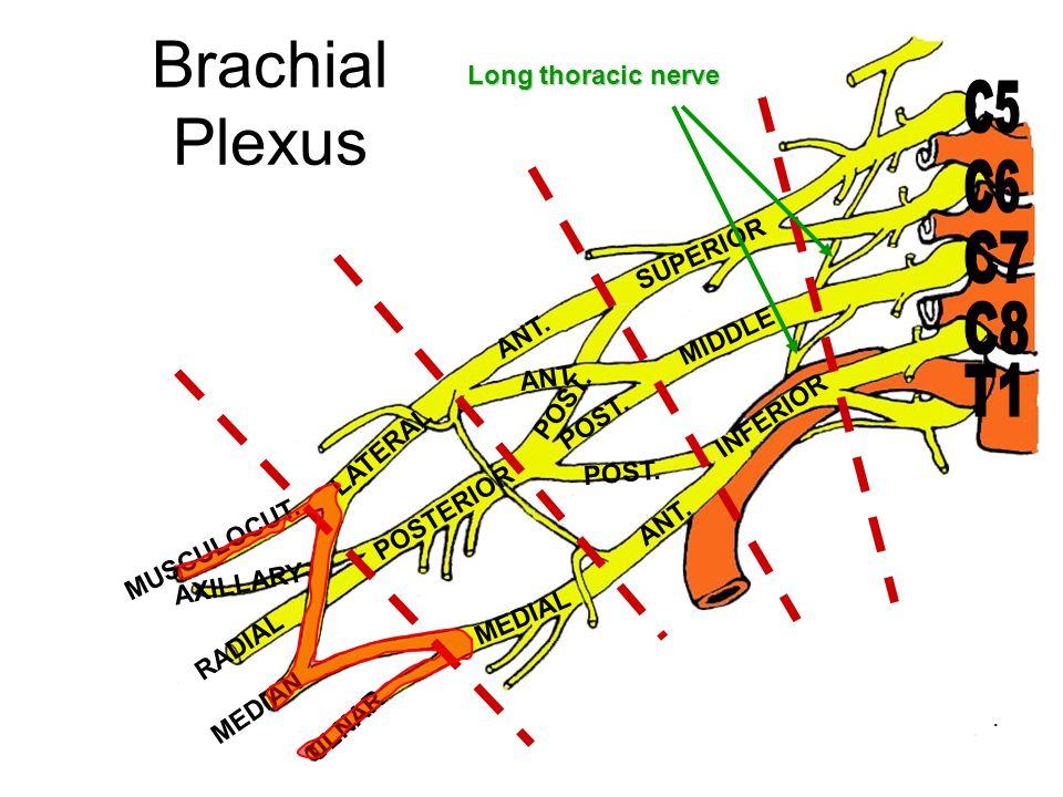 Brachial Plexus C5 C6 C7 C8 T1 Long thoracic nerve SUPERIOR MIDDLE