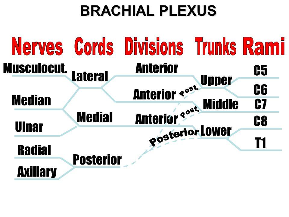 BRACHIAL PLEXUS Nerves Cords Divisions Trunks Rami Musculocut.