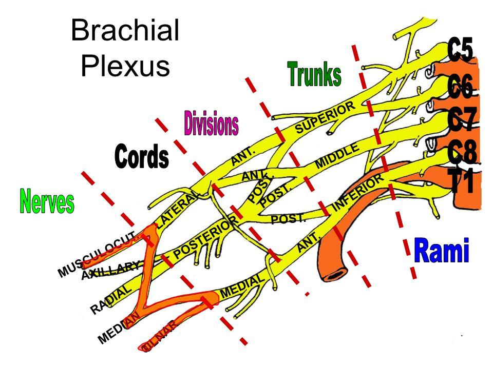Brachial Plexus C5 Trunks C6 C7 Divisions C8 Cords T1 Nerves Rami