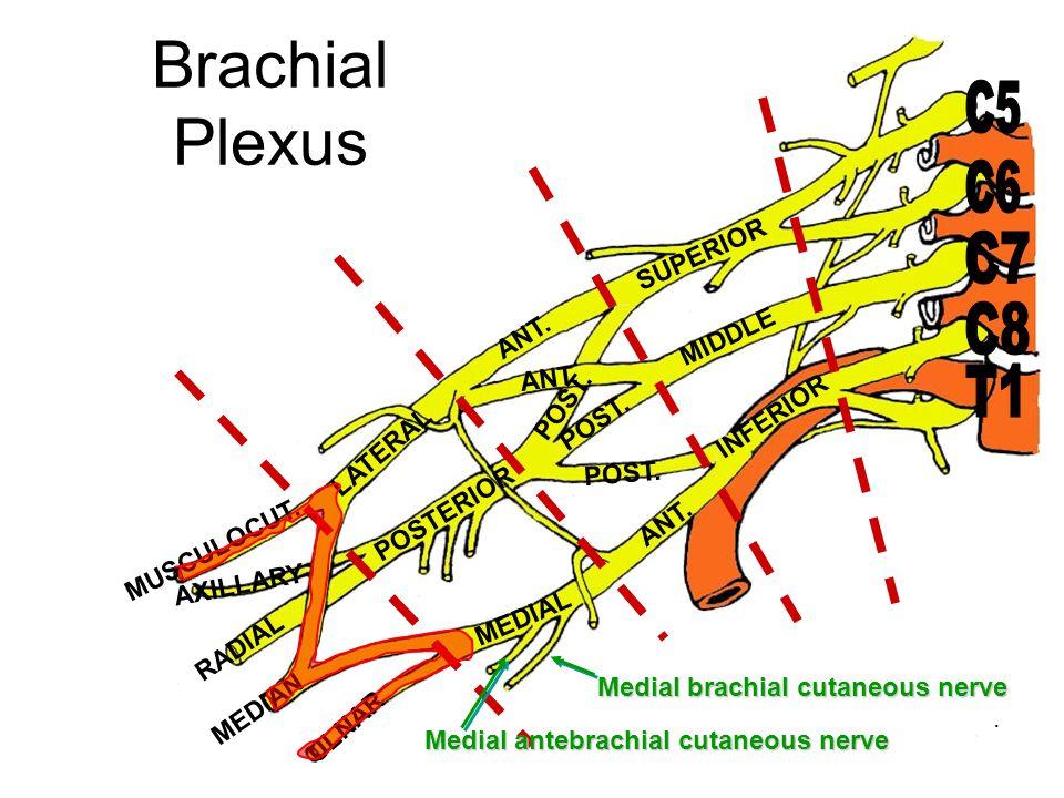 Medial brachial cutaneous nerve Medial antebrachial cutaneous nerve