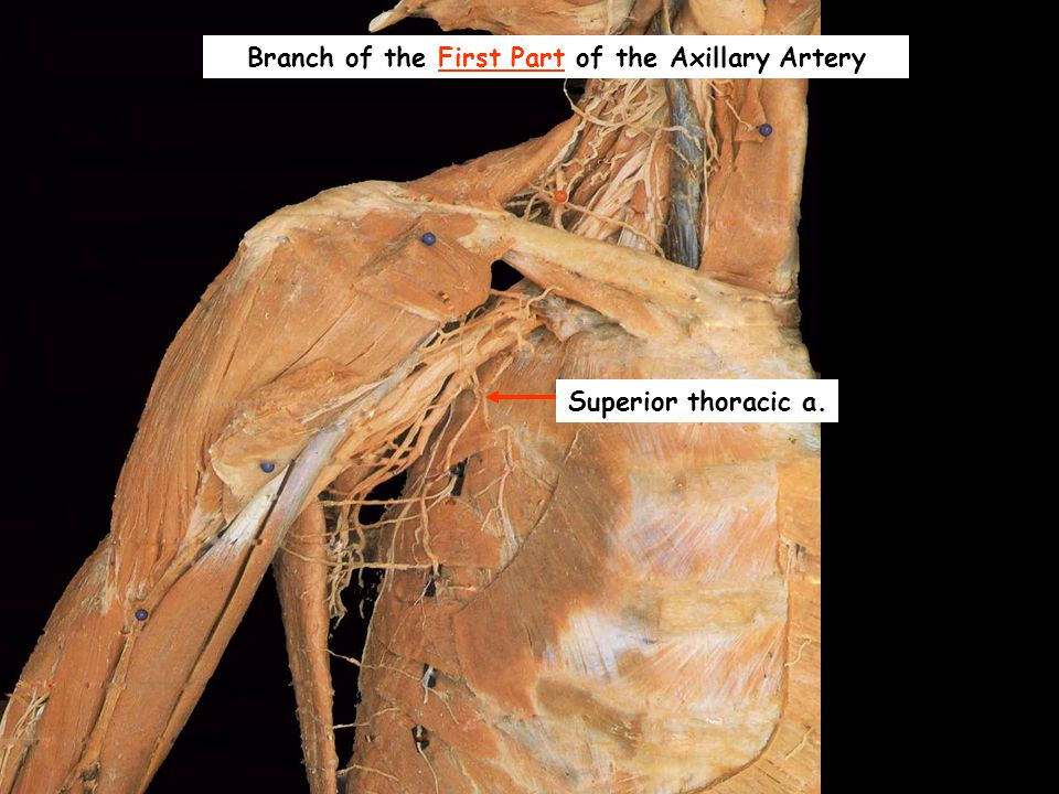 Branch of the First Part of the Axillary Artery