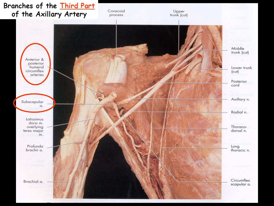 Branches of the Third Part of the Axillary Artery