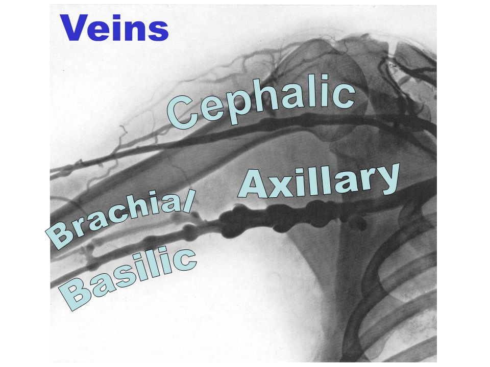 Veins Cephalic Axillary Brachial Basilic