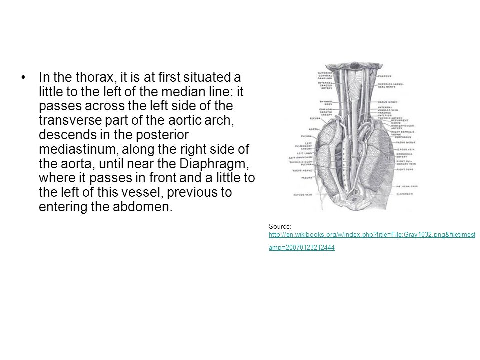In the thorax, it is at first situated a little to the left of the median line: it passes across the left side of the transverse part of the aortic arch, descends in the posterior mediastinum, along the right side of the aorta, until near the Diaphragm, where it passes in front and a little to the left of this vessel, previous to entering the abdomen.