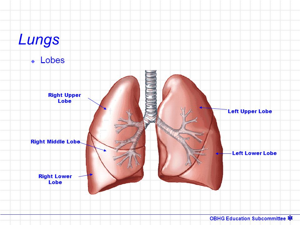 Lungs Lobes Right Upper Lobe Left Upper Lobe Right Middle Lobe