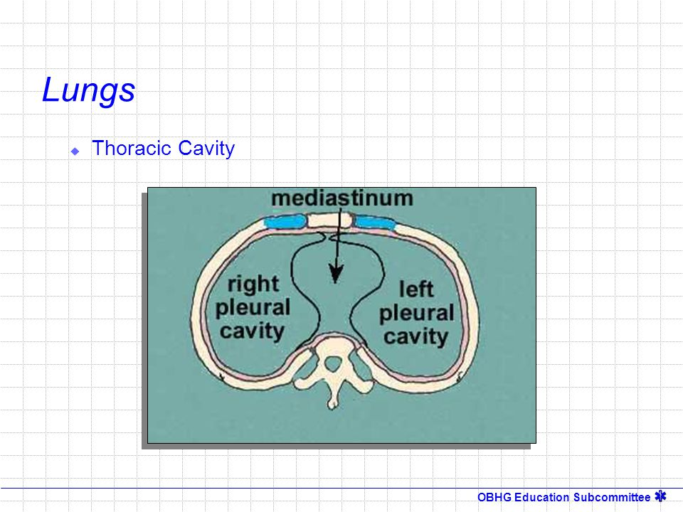 Lungs Thoracic Cavity Instructor Notes: