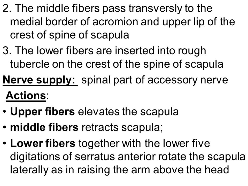 2. The middle fibers pass transversly to the medial border of acromion and upper lip of the crest of spine of scapula