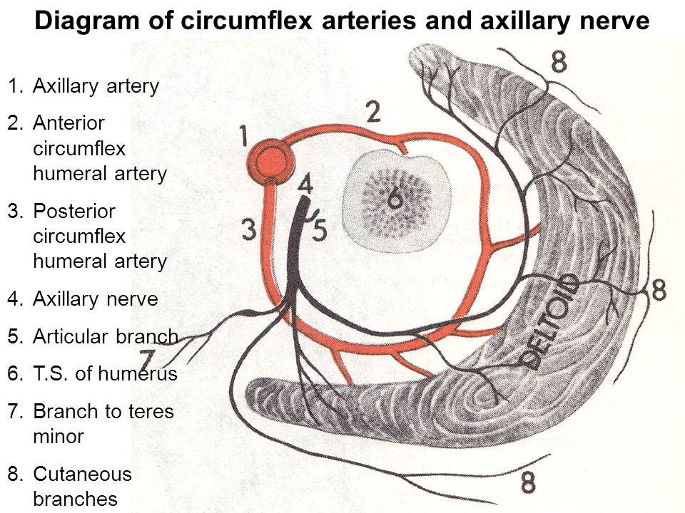 Diagram of circumflex arteries and axillary nerve