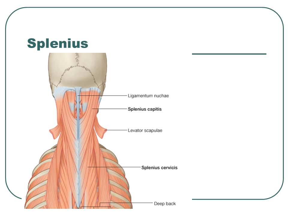 Splenius