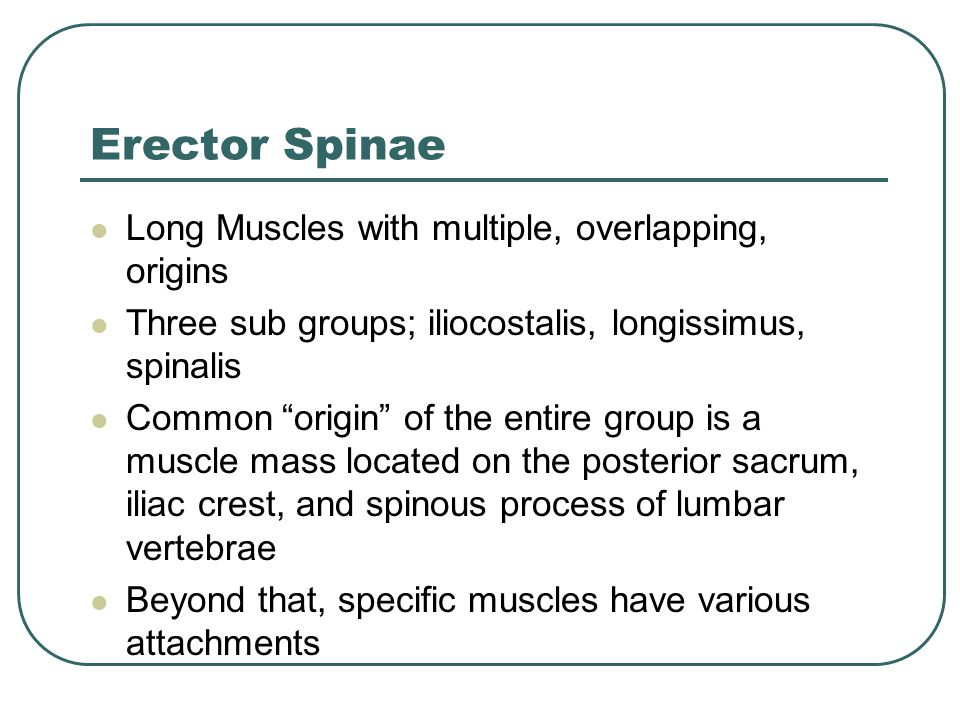 Erector Spinae Long Muscles with multiple, overlapping, origins